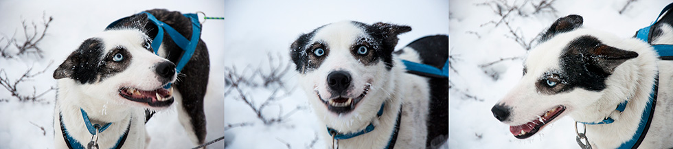 Abisko Dog Sledding - Blue eyes