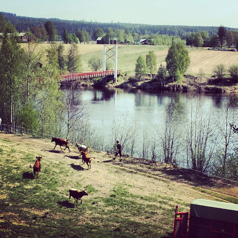 Cow release in norther Sweden near Umeå