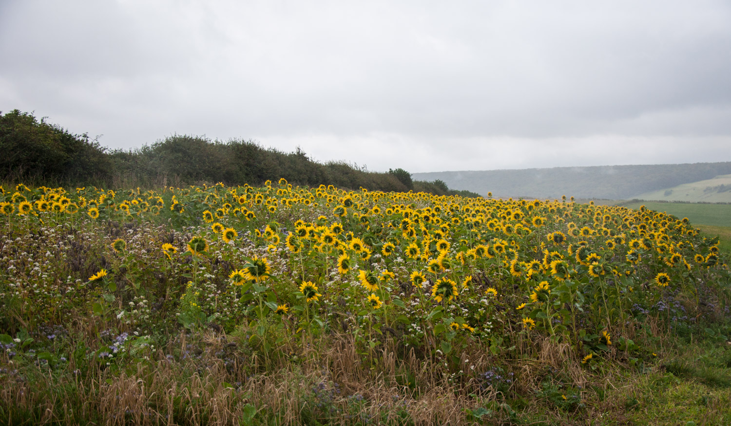 Sunflowers near Litlington