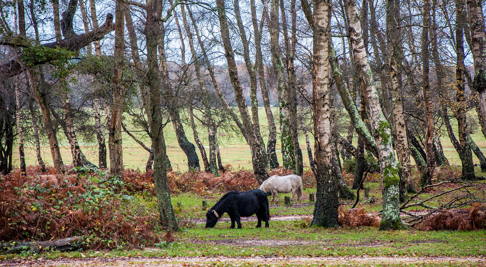 New Forest ponies!
